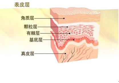 人体皮肤结构